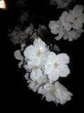 yozakura0803292.jpg